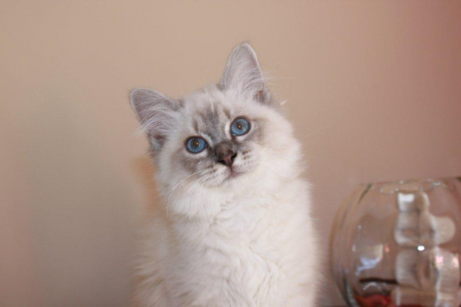 Granola du Sacré Roi : Femelle bleu silver tabby point porteur de cinnamon