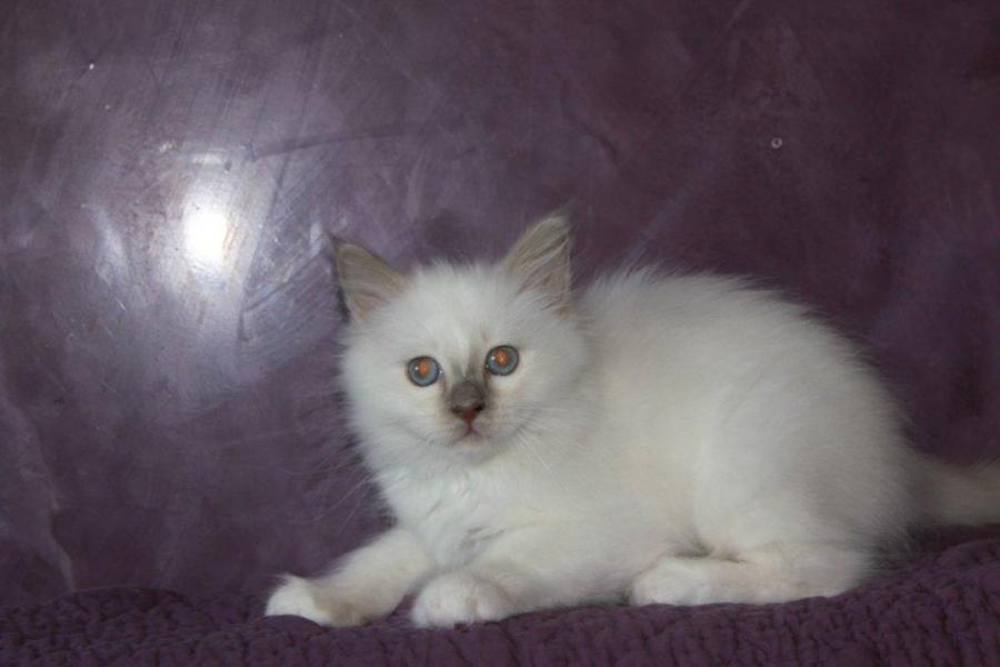 Igloo du Sacré Roi, chaton Sacré de Birmanie