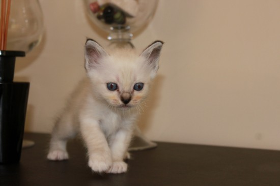 Chaton 2 seal silver tabby point