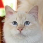 Djazz du Blues Daphnée : Mâle crème point porteur de cinnamon