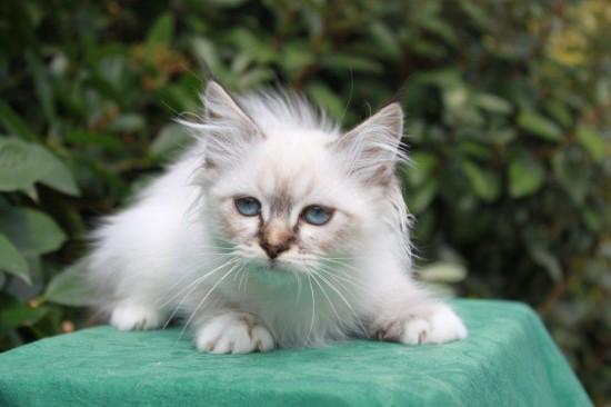 Icare du Sacré Roi, chaton Sacré de Birmanie