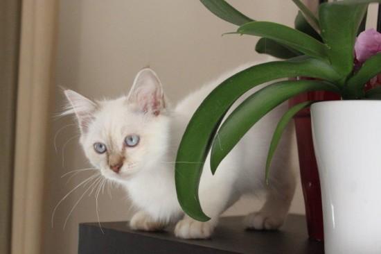 Janus du Sacré Roi : chaton mâle Sacré de Birmanie chocolat silver tabby point