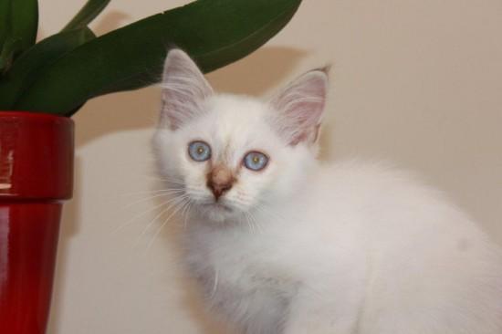 Janus du Sacré Roi - chaton mâle Sacré de Birmanie chocolat silver tabby point de 3 mois disponible