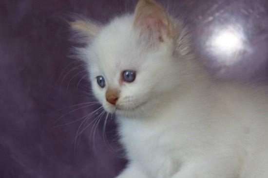 Just in cannelle du Sacré Roi : chaton femelle Sacré de Birmanie cinnamon smoke (à confirmer pour le smoke)