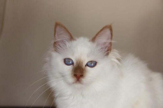 Just in cannelle du Sacré Roi : chaton femelle Sacré de Birmanie cinnamon smoke 4 mois