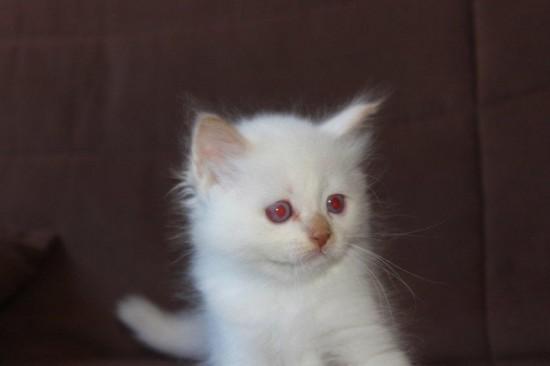 Just cinnamon du Sacré Roi : chaton femelle Sacré de Birmanie cinnamon smoke (à confirmer pour le smoke)