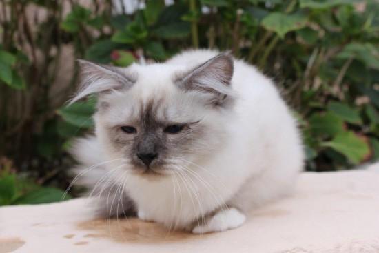 Léonidas du Sacré Roi : chaton mâle Sacré de Birmanie seal smoke point - 6 mois