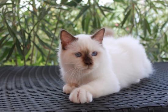 Lapidus du Courthenou : chat Sacré de Birmanie chocolat point