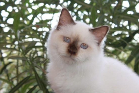 Lapidus du Courthenou : chat Sacré de Birmanie chocolat point - 5 mois