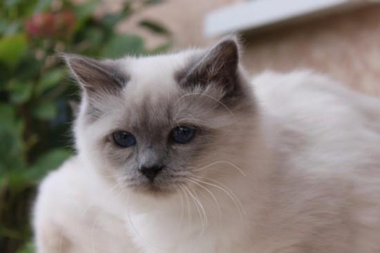 Lucky du Sacré Roi : chaton Sacré de Birmanie bleu smoke point - 6 mois