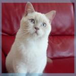 Babayaga du Chêne Landry - Femelle British shorthair fawn point